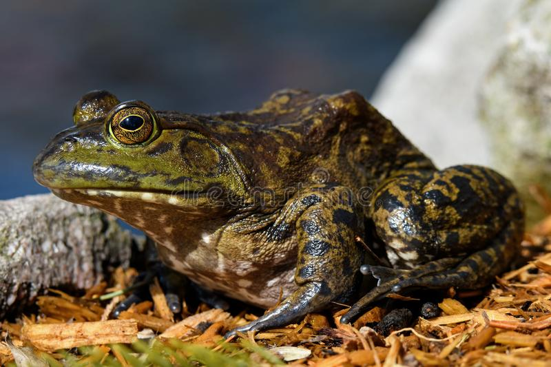 American bullfrog sitting at ponds edge in early morning sun. stock images