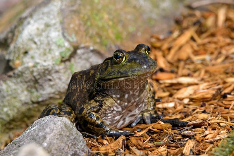 American bullfrog sitting at ponds edge in early morning sun. royalty free stock image