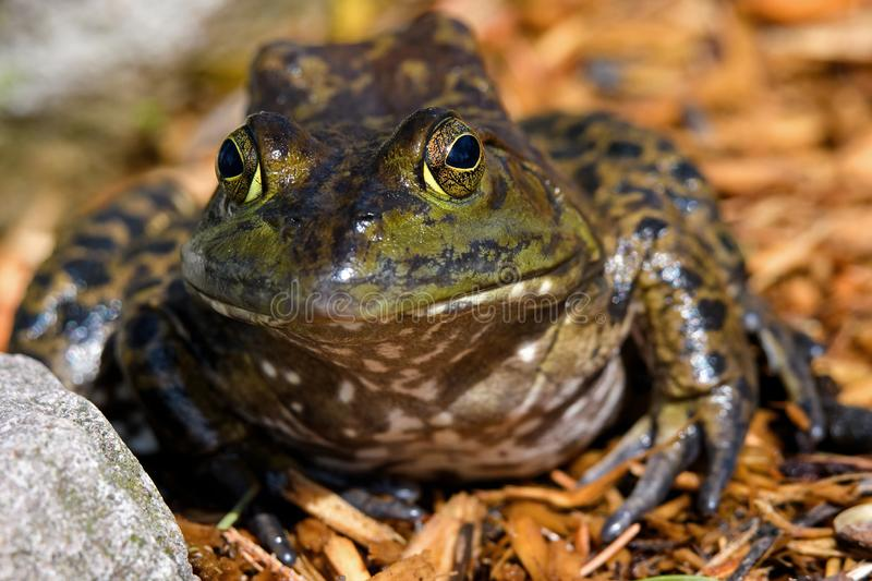 American bullfrog sitting at ponds edge in early morning sun. stock photography