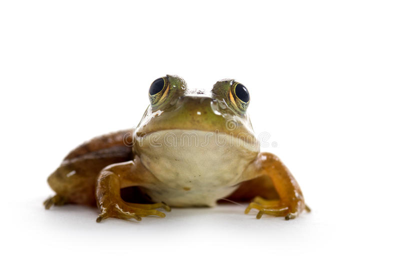 American Bullfrog. A small American bullfrog sitting on white background stock photography