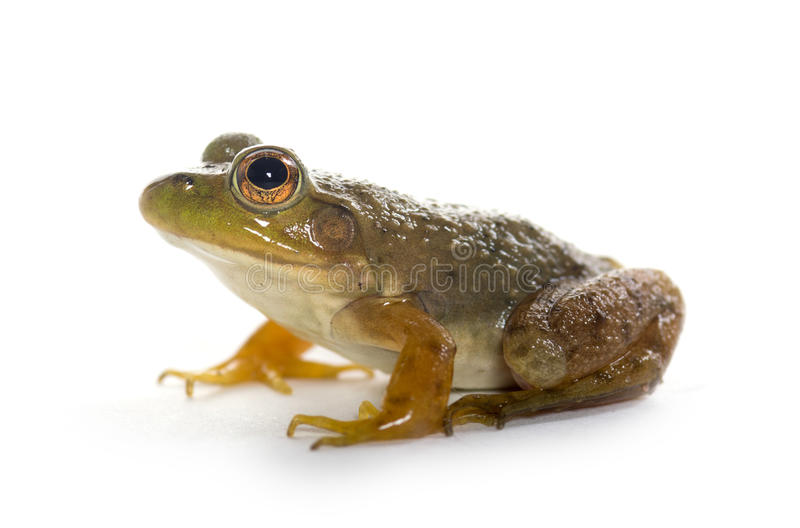 American Bullfrog. A small American bullfrog sitting on white background royalty free stock photo