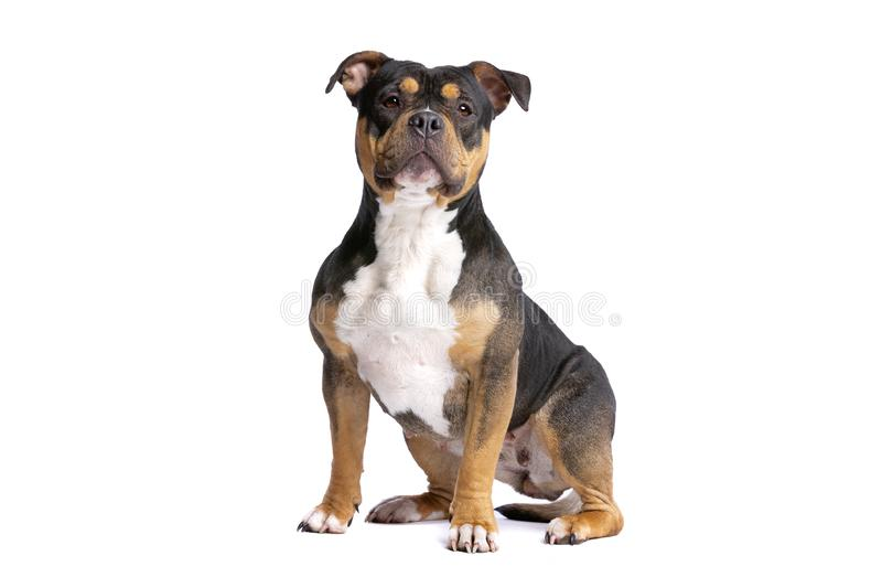 American Bully Dog Stock Images - Download 1,370 Royalty