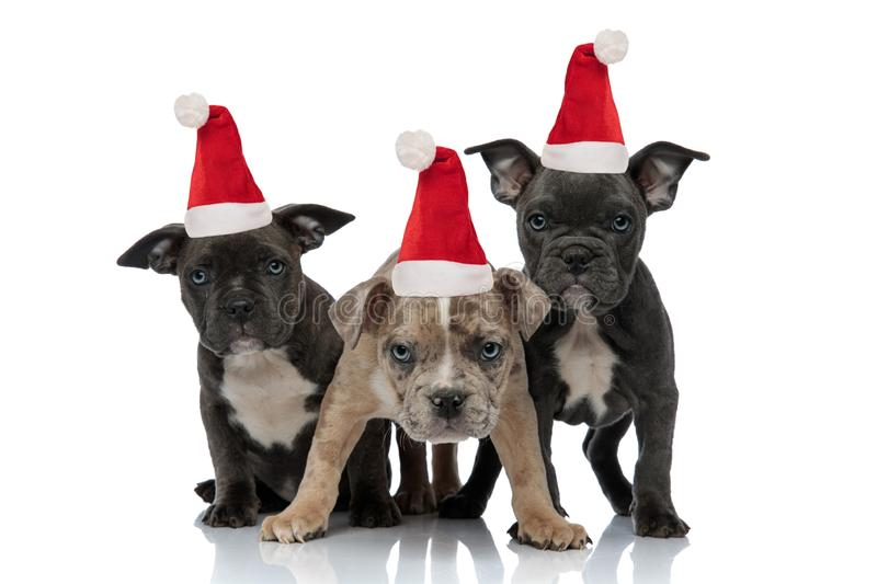 3 American bully dogs sitting and standing together while wearing santa claus christmas hats royalty free stock images