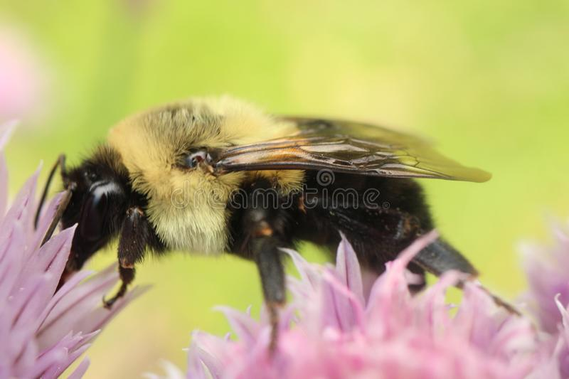 Common Eastern Bumble Bee foraging on a chive blossom. Macro photograph of a Bombus Impatiens foraging amongst the pink and purple flowers of a mature chive stock photography