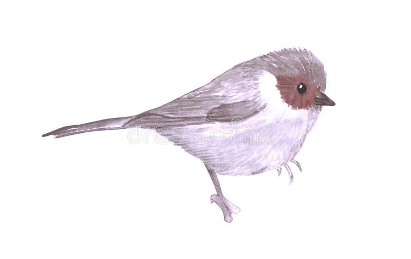 American Bushtit or Psaltriparus minimus isolated on white.  stock illustration