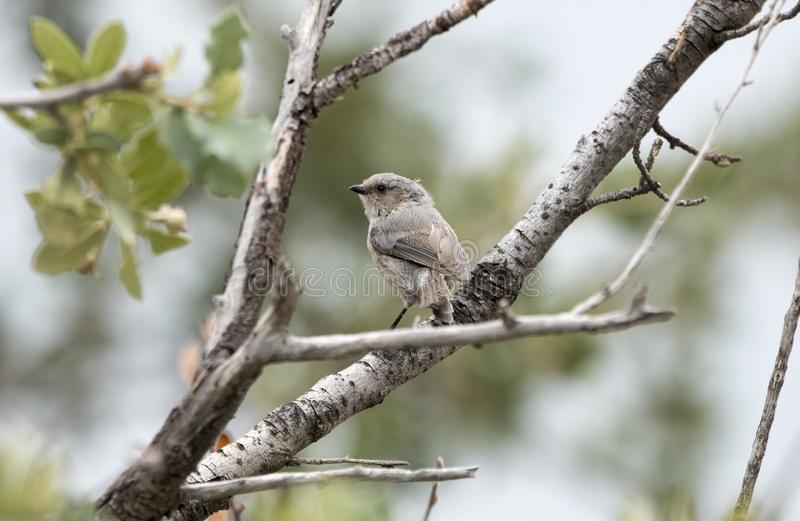 Bushtit bird at Lake Watson Park, Prescott Arizona. The American bushtit Psaltriparus minimus is a year-round resident of the western United States and highland stock images