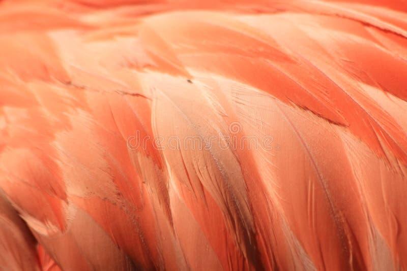 Pink coloured cuban flamingo feathers stock photos