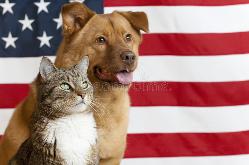 American cat and dog. Proud American pets with US flag in as background. Focus on cat stock images