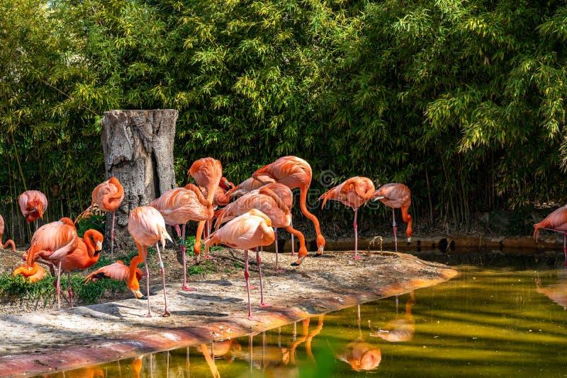 American chilean flamingo Phoenicopterus chilensis ruber in Barcelona Zoo royalty free stock photo