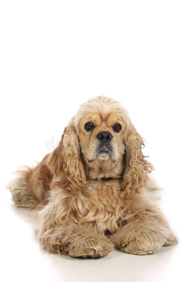 American Cocker Spaniel. Isolated on white background royalty free stock photo