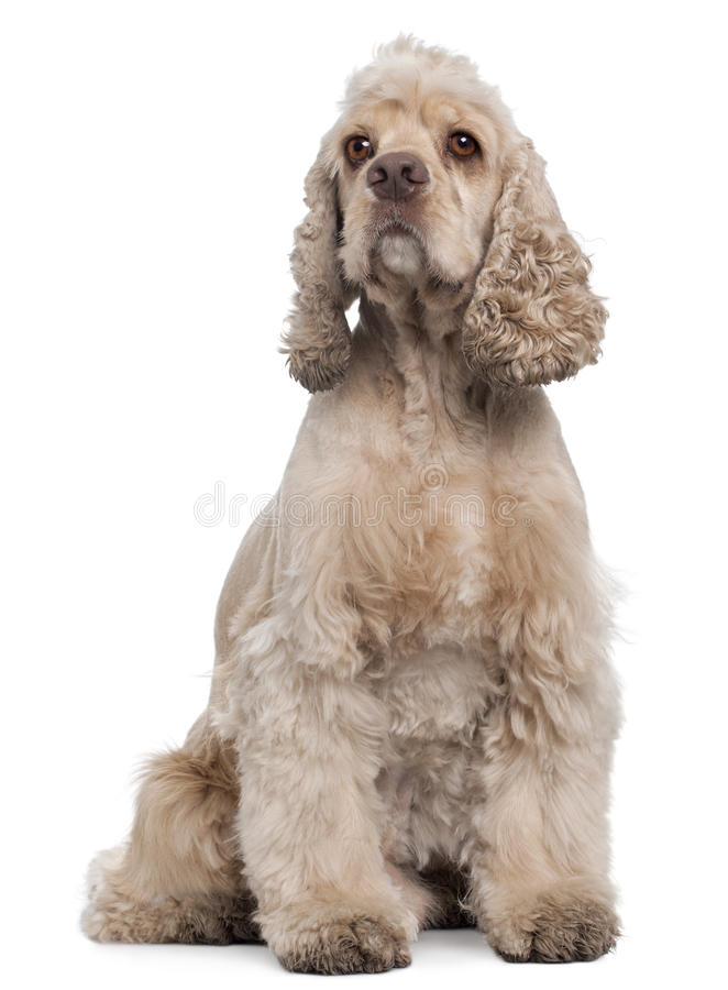 American Cocker Spaniel, 6 years old, sitting. In front of white background stock photos