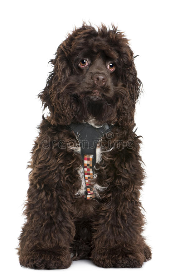 Download American Cocker Spaniel, 7 Months Old Stock Image - Image: 13816453