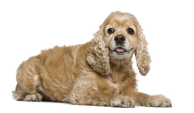 American Cocker Spaniel, 8 years old, lying. In front of white background royalty free stock image