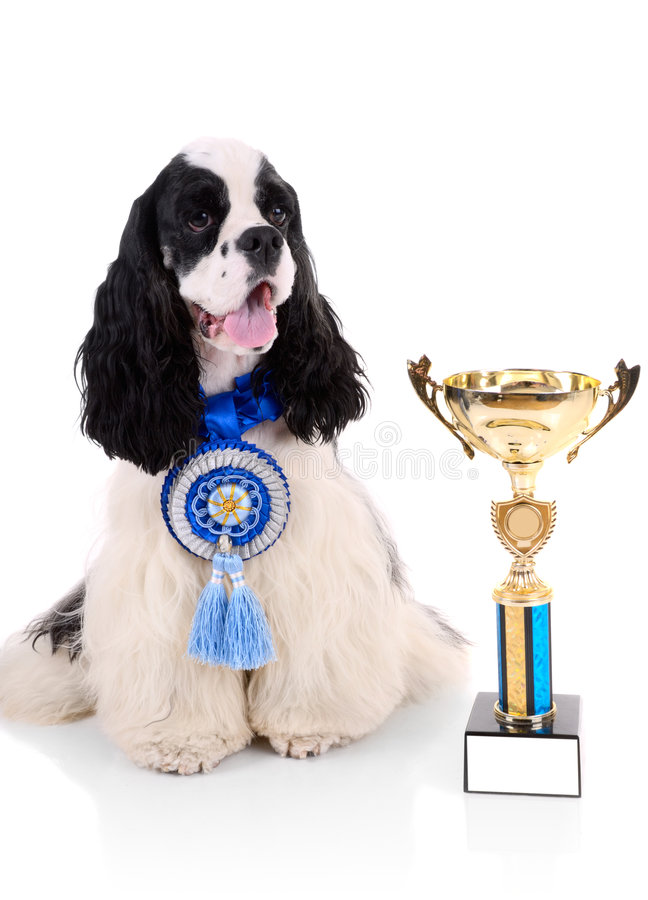 Free American Cocker Spaniel Royalty Free Stock Images - 8768689