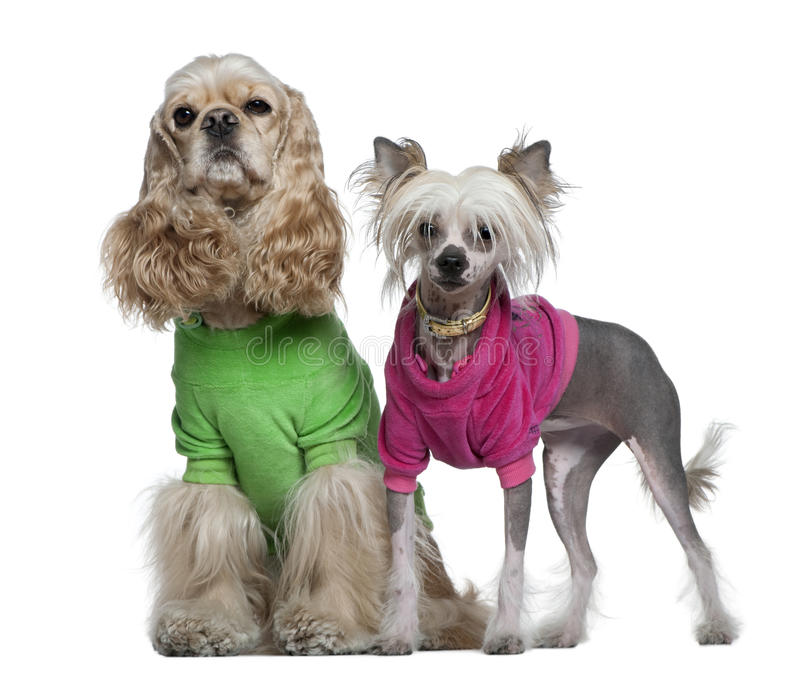 American Cocker Spaniel and Chinese Crested dogs royalty free stock photo