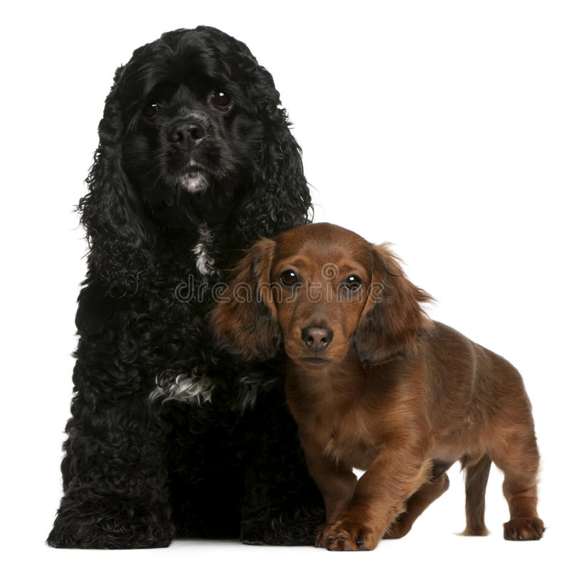American Cocker Spaniel and dachshund puppy. American Cocker Spaniel, 2 years old, and Dachshund puppy, 4 months old, in front of white background royalty free stock images