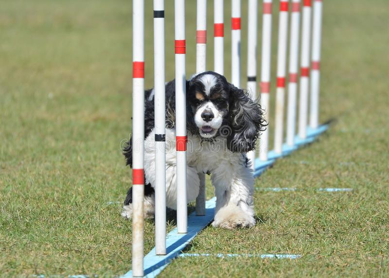 American Cocker Spaniel at Dog Agility Trial. American Cocker Spaniel Doing Weave Poles at Dog Agility Trial royalty free stock photography
