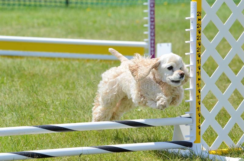 American Cocker Spaniel at a Dog Agility Trial. American Cocker Spaniel Leaping Over a Jump at a Dog Agility Trial royalty free stock image
