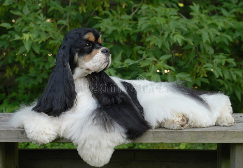 Download American Cocker Spaniel Portrait Stock Image - Image: 5914065