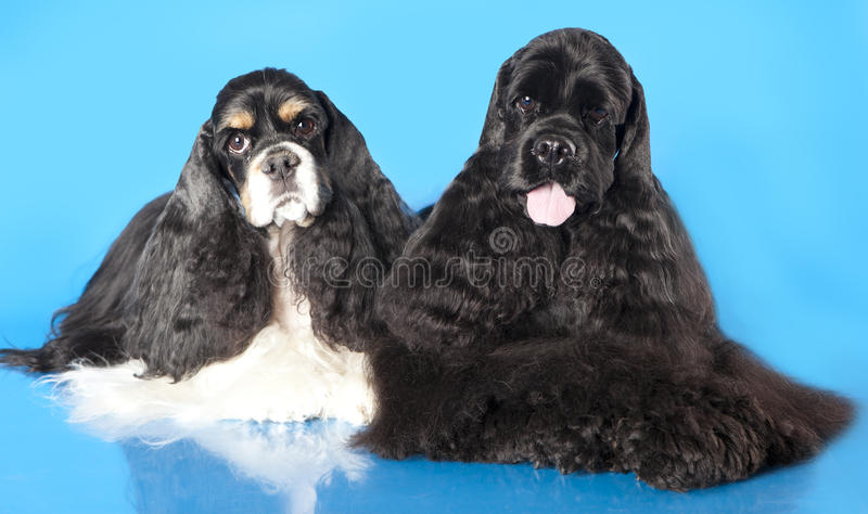 Download American Cocker Spaniel Puppy Stock Photo - Image: 22371264