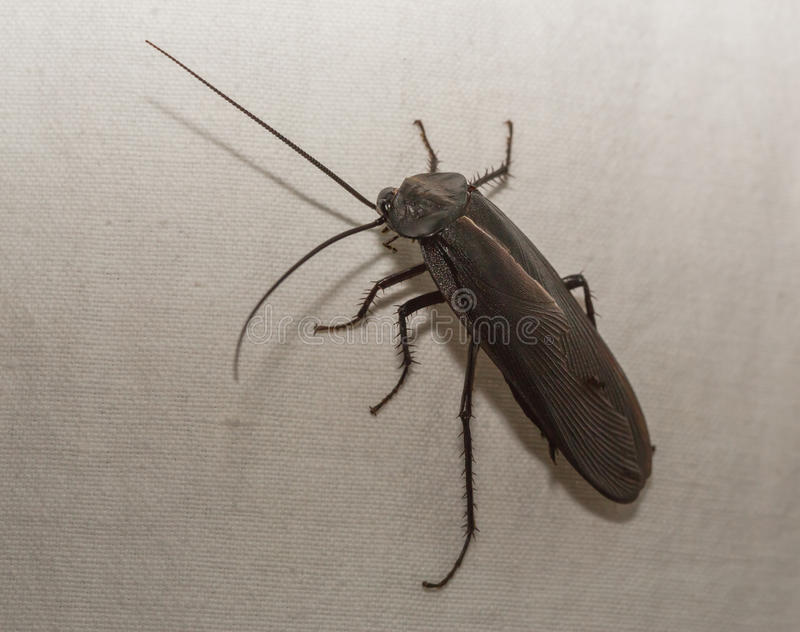 American cockroach royalty free stock image
