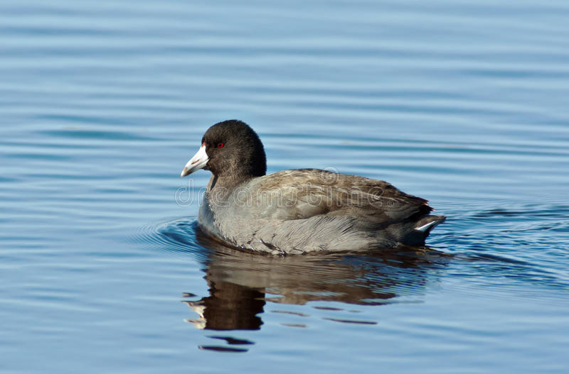 Download American Coot stock photo. Image of coot, blue, duck - 17160212