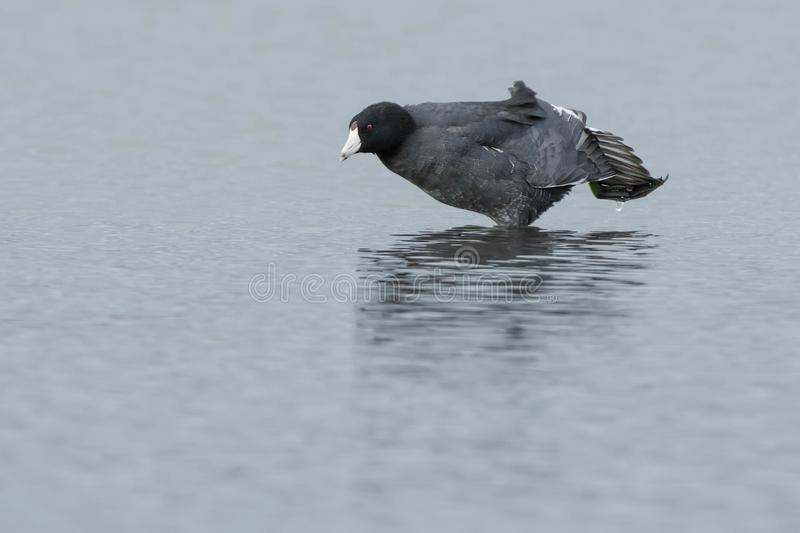 Download American Coot stock photo. Image of environmental, fulica - 104237992