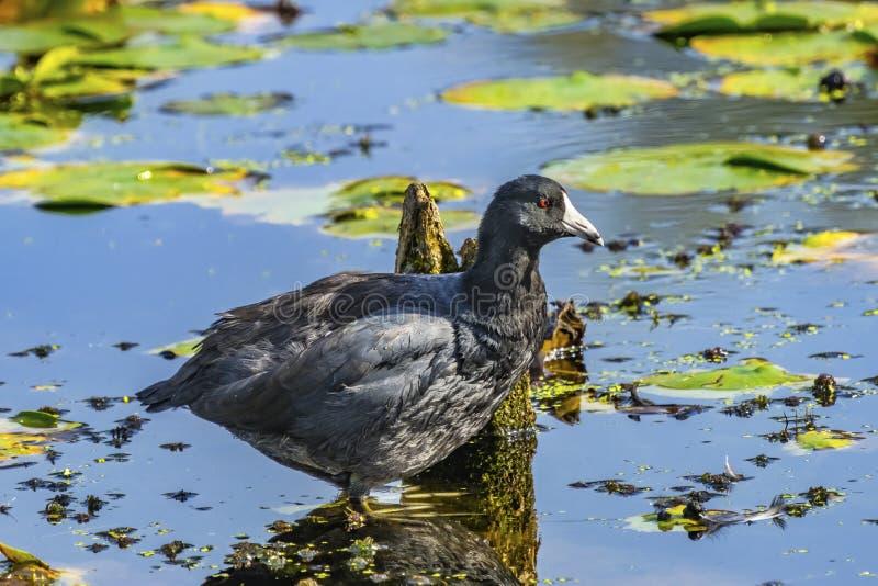 American Coot Duck Juanita Bay Park Lake Washington Kirkland. American Coot Bird Duck Mud Hen Green Lily Pads Juanita Bay Park Lake Washington Kirkland stock photography
