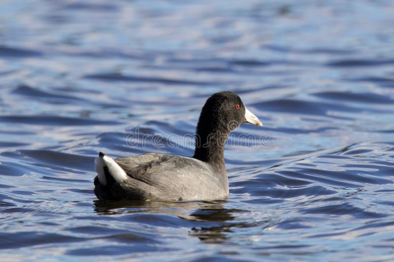 American Coot royalty free stock photo