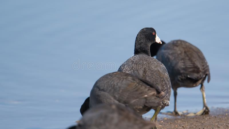 American coots on the Minnesota River during spring migrations - in the Minnesota Valley National Wildlife Refuge royalty free stock photo