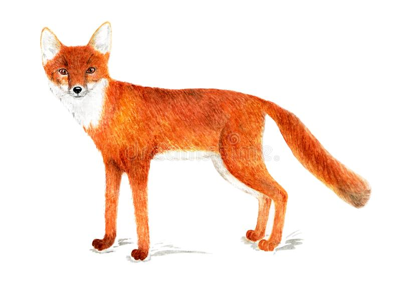 American corsac. American fox. Watercolor illustration. American corsac, one of the species foxes. Illustration for a book about animals, for printing on stock illustration