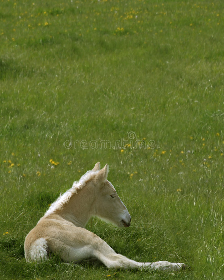 American Cream Colt royalty free stock photography
