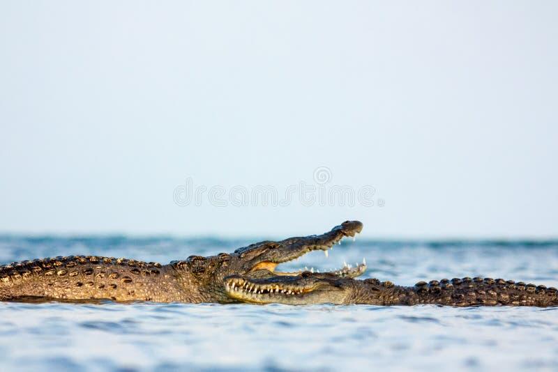 American crocodile stock photography
