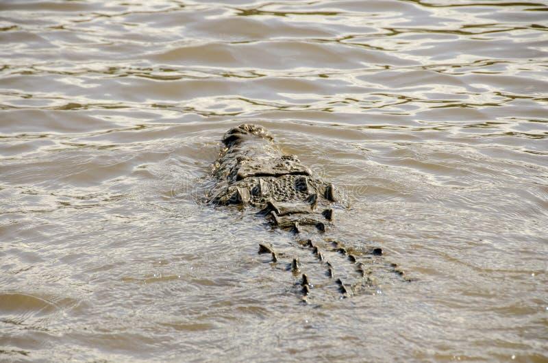 AMERICAN CROCODILE SWIM stock images