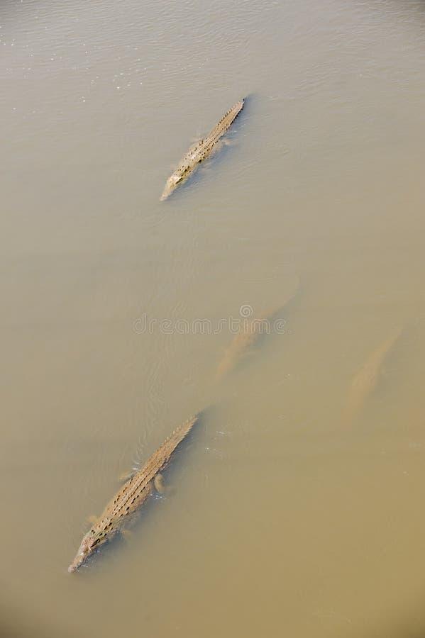 Download American Crocodiles Swimming Stock Photo - Image: 14008322
