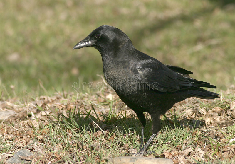 American Crow stock photos