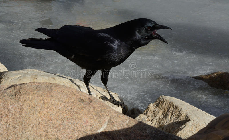 American crow cawing stock photography
