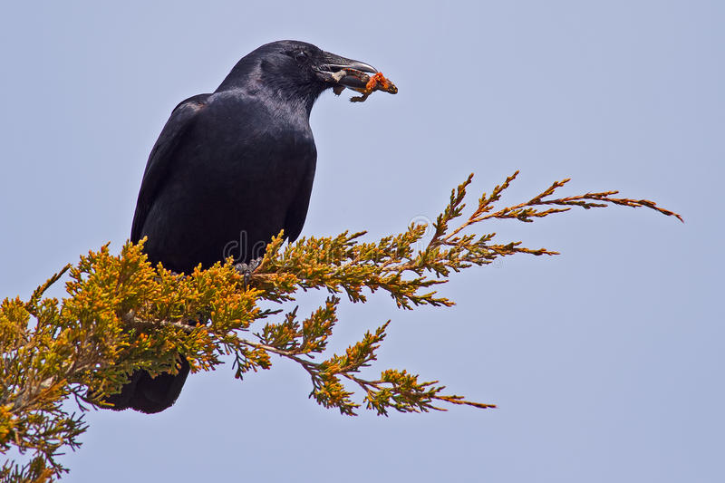 American Crow. An American Crow eating a turtle stock images