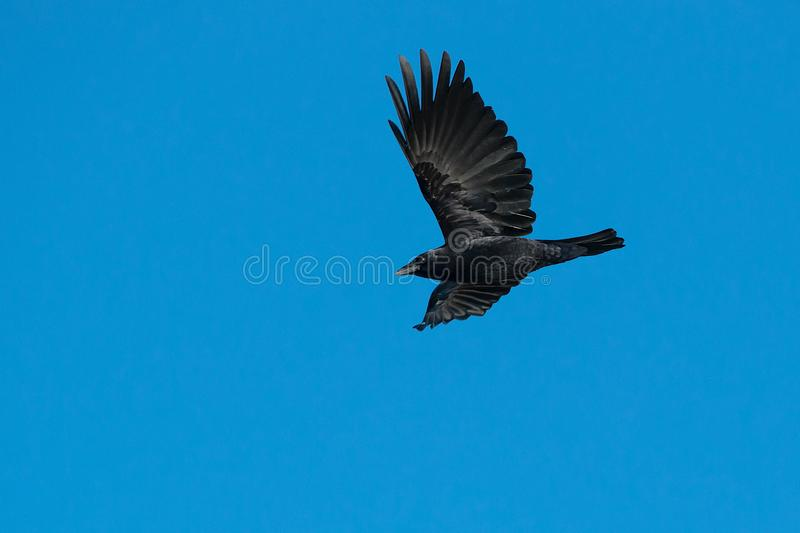Download American Crow stock image. Image of organism, ontario - 104238159