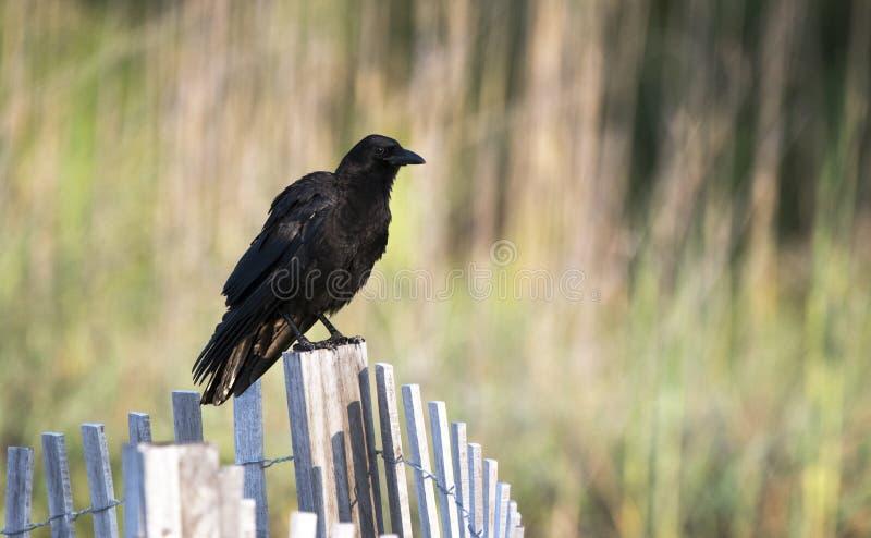 American Crow on Hilton Head Island beach royalty free stock photos