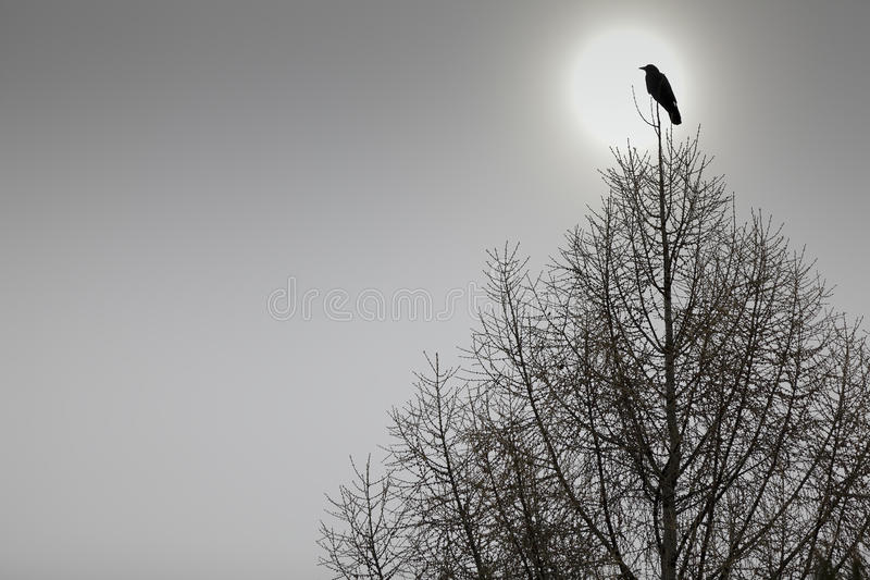 American Crow perched on top of a tree_ stock photography