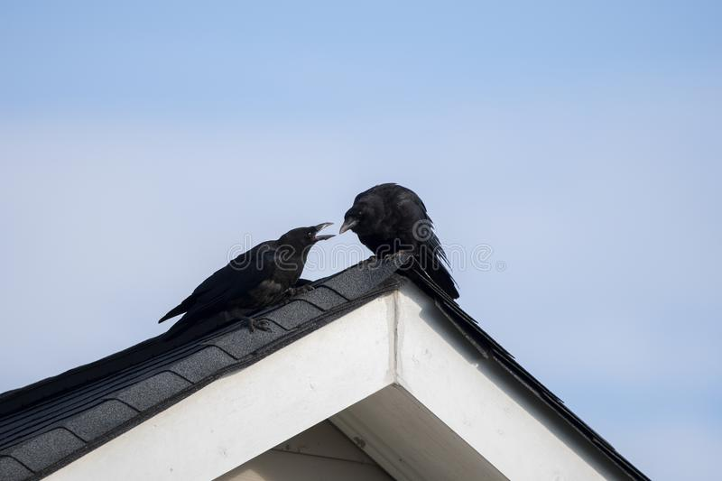 American Crow on rooftop, Clarke County GA USA. Two black crows perched on a roof peak. The American crow Corvus brachyrhynchos is a large passerine bird species stock photo