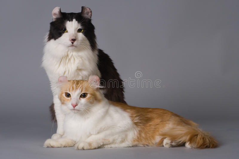 American curl royalty free stock photo