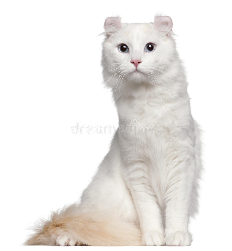 American Curl cat, 1 and a half years old royalty free stock image