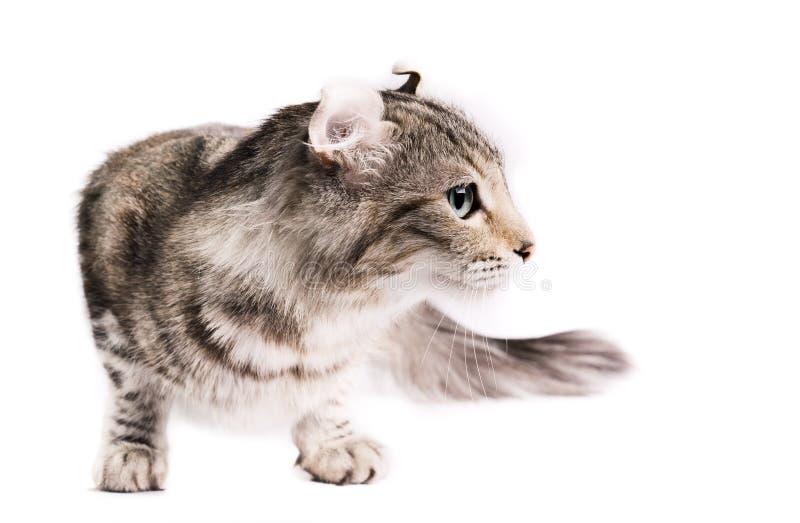 American curl cat royalty free stock image
