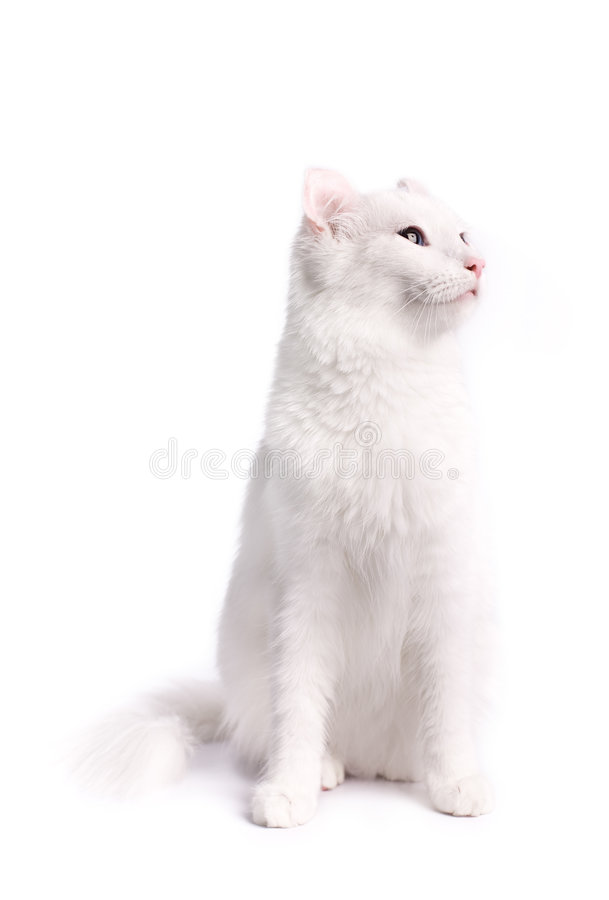 American curl cat stock photos