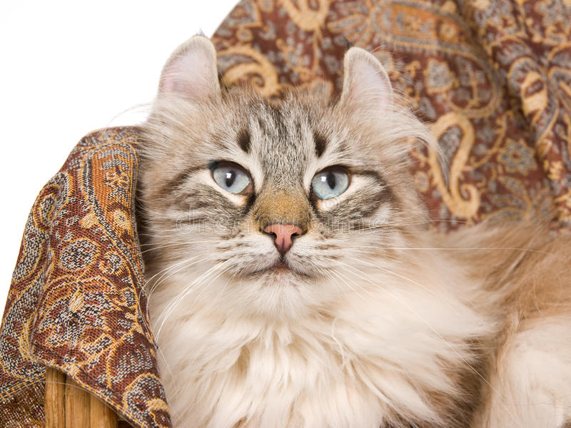 American Curl cat on brown cloth royalty free stock image