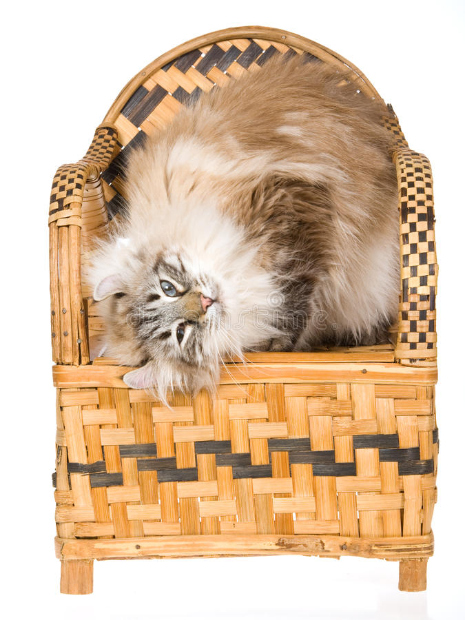 American Curl cat on woven bamboo chair