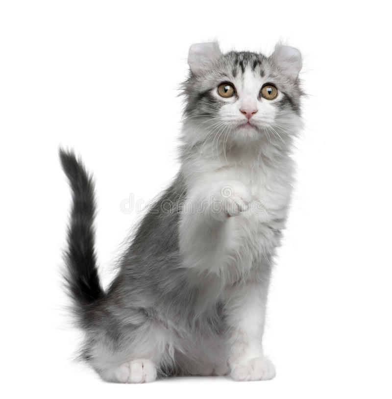 American curl kitten, 11 weeks old stock image