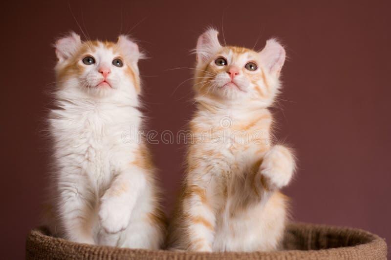 American Curl kitten stock image